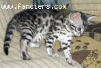 Male BST F2B Savannah kitten